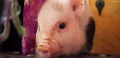 10 Pigs That Prove Pigs are Insanely Adorable