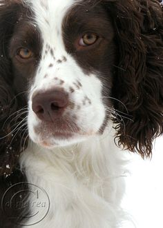 English Springer Spaniel ACEO  Field Bred by BeneathNorthernSkies, $4.50