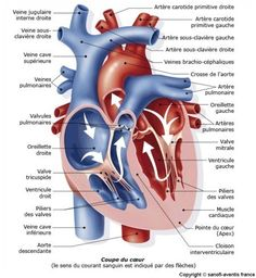 Méthode pas à pas pour apprendre et comprendre au mieux l'anatomie ou UE 5 en PACES. Découvrez les méthodes et conseils pour réussir l'UE 5