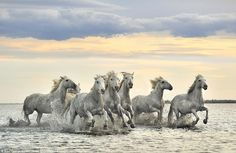 Camargue Horses - France Poster Print by Xavier Ortega Clydesdale, Horse Pictures, Cool Pictures, Cowboy Up, Montage Art, Wild Horses Running, Pur Sang, Horse Wallpaper, Hd Wallpaper