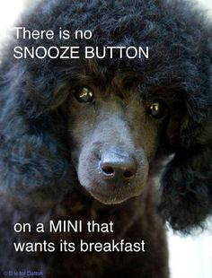 Poodles are FUZZY Alarm Clocks! That is very true with my standard