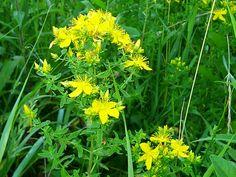 Třezalka tečkovaná, kvetoucí nať, červenec Korn, Ale, Herbs, Plants, Quotes, Quotations, Ale Beer, Herb, Plant