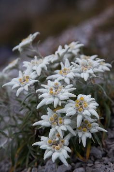 Edelweiss.....photo by Presolanik - Pixdaus