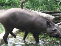 O tapir . Hippopotamus, Animals, Salzburg, Pictures, Animales, Animaux, Animal, Animais