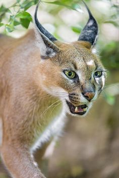 Caracal is an amazing and unusual feline animal. Then start reading. Big Cats, Cool Cats, Cats And Kittens, Beautiful Cats, Animals Beautiful, Beautiful Creatures, Mundo Animal, My Animal, Animals Of The World