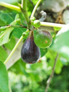 Ripe Fig Ready to Harvest in Late Summer