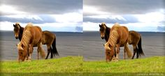 Horse image taken with Kúla Deeper, the 3d lens attachment & processed using Kúlacode for cross-eyed viewing.  Deeper is now available on Kickstarter if you wish to take your own 3D images: https://www.kickstarter.com/projects/kula/capture-the-moment-in-3d?ref=category_location