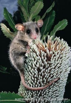 pygmy possum - Google Search