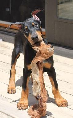 #Doberman #puppy!
