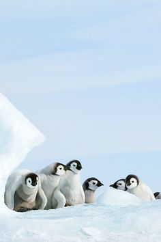 sweet little Penguins (by David C. Penguins And Polar Bears, Baby Penguins, Cute Baby Animals, Animals And Pets, Beautiful Birds, Animals Beautiful, Animal Pictures, Cute Pictures, Penguin Love