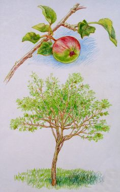 Waldorf ~ 5th grade ~ Botany ~ Apple Tree ~ main lesson book