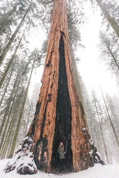 """tentree: """" The heart tree in Sequoia National Park, California. 