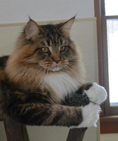 Rock Star Cats, Maine Coon Breeder in Oconomowoc, WI