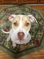 Check out Lumi's profile on AllPaws.com and help her get adopted! Lumi is an adorable Dog that needs a new home. https://www.allpaws.com/adopt-a-dog/american-staffordshire-terrier/257523?social_ref=pinterest visit us at lilospromise.com