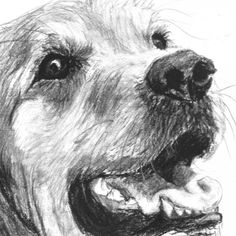 drawing a great golden retriever | Golden Retriever Charcoal Pencil Sketch Art by Kate Sumners