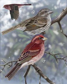 Purple Finch - Whatbird.com