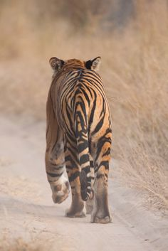 dolphinjazz: Tiger Walk by Jamen Percy on Fivehundredpx