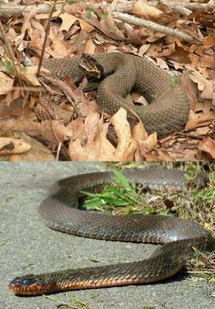 Learn to tell venomous snakes look-alikes from the real deadly ones with this guide before you go and conquer the wild or your backyard. Corn Snake, Survival Project, Survival Life, Wilderness Survival, Brown Water Snake, Wild Animals Attack, Garden Snakes, Poisonous Snakes, Snakes