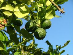 Learn To Grow And Care For A Kaffir Lime Tree   http://plantgurus.com/plants/learn-to-grow-and-care-for-a-kaffir-lime-tree/