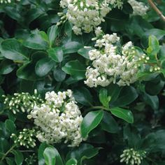 Escallonia iveyi Escallonia Iveyi is a fast growing, sun loving, evergreen with fragrant white flowers in summer. It is ideal for hedges, borders or screening. It is particulary hardy and will cope with coastal conditions as well as a hot, dry location. It does not...