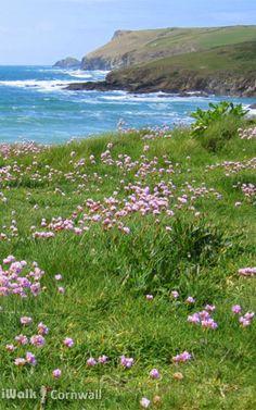Sea pinks at Pentireglaze near Polzeath, Cornwall Mousehole Cornwall, North Cornwall, Cornish Coast, Acrylic Paintings, Wildflowers, Great Britain, Painting Inspiration, Yorkshire, Walks