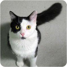 Beautiful tuxedo cat available for adoption.