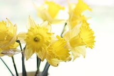 #Daffodil #photograph set of 2 prints #spring by VintageChicImages, $36.00  #homedecor #etsy #yellow #flowers