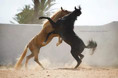 Stallions at war Horse Photos, Horse Pictures, Animal Pictures, Most Beautiful Animals, Beautiful Horses, Equine Photography, Animal Photography, Majestic Horse, White Horses