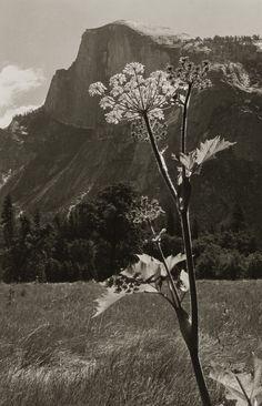 Untitled (Flowering Plant with Mountain Range), 1930s. @darlene Bankston #Naturalbeauty