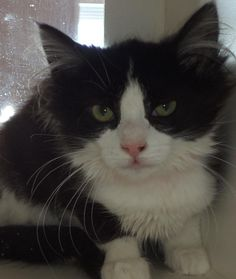 PENELOPE...Sweetheart...AKRON, OHIO...Meet C02-037 (02/27/14) a Petfinder adoptable Domestic Medium Hair Cat | Akron, OH | Adopting a friend~Dogs (and puppies) are $ 90.00 : $ 76.00 for the adoption / $ 14.00 for the...