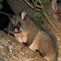 A brushtail possum. #tasmania #possum #discovertasmania Image Credit: Pepper Bush Adventures