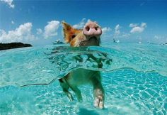 Exumas, Bahamas.  Swimming pigs on Staniel Key.  These wild pigs swim out to your boat for treats.  Be there next week!