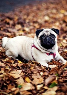 Pugs love leaves...I think.  I'm guessing.  They look cute in the leaves.  That is a fact!
