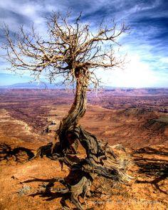 utah | Lonely tree - Canyonlands National Park, Utah