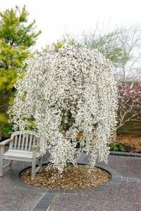 beautiful dwarf weeping cherry tree
