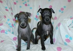 Available italian greyhounds puppies - see more information on our site. iggy pyppies, puppy, puppies for sale, italian greyhound, iggies, левретка, щенки левретки, щенок левретки, charcik wloski,charcik włoski,iggy,iggi, piccolo levriero italiano, italiensk vinthund, italiensk mynde, galgo italiano, petit levrier italien, levrier italien, italienisches windspiel, italsky chrtik,   이탈리안그레이하운드, 아이쥐, pli, sighthound, windspiel, vinthund Italian Greyhound Puppies, Greyhounds, Black Boys, Puppies For Sale, Pitbulls, Dogs, Animals, Italian Greyhound, Black Kids