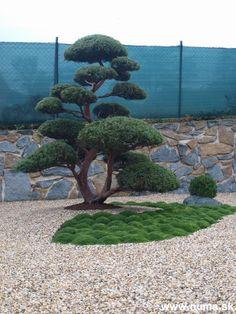 Shaped solitaire – juniperus chinensis Hetzi juniper after planting. Japanese Garden Style, Japanese Garden Plants, Japanese Garden Landscape, Japan Garden, Bonsai Garden, Garden Trees, Mini Plantas, Rock Garden Design, Dream Garden