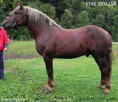 Silesian Noriker stallion Goliáš