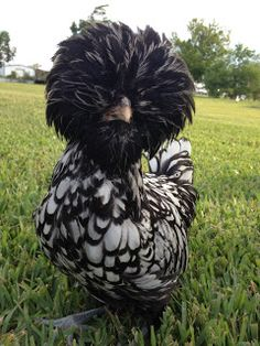 Lucky our Silver Laced Polish Frizzle