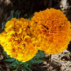 Flower Power! Beautiful New Varieties for 2014 (like this new Mexican Marigold)...