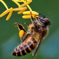 The beloved honey bee - an Earthling's best friend