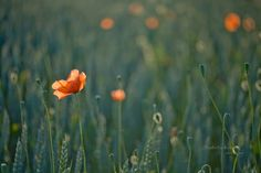 A Song of Summer and Love by Isabella  (veredit) Kramer on 500px
