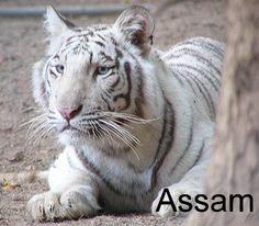 Assam- White (Tiger Haven, USA)