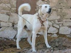 Turkish Akbaş Dog