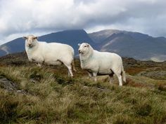 Two South Welsh mountain ewes with distant views to the Snowdonian Mountains. It is the largest in size of all the Welsh Mountain breeds with the rams weighing up to and the ewes up to It is long-lived and easy to. Wales Mountains, South Wales, Livestock, Welsh, Sheep, Animals, Inner Peace, Farming, Perspective