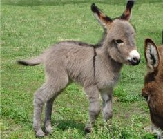Dwarf Donkey or Miniature Donkey is enjoyable loving, cheerful, loyal and superiorly intelligent. So let's jump into some surprising mini donkey facts Baby Donkey, Mini Donkey, Donkey Donkey, Cute Baby Animals, Animals And Pets, Funny Animals, Mundo Animal, My Animal, Minature Donkey