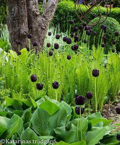 Favoritkombo med mörka tulpaner och strutbräken. #tulipaqueenofnight #strutbräken #matteucciastruthiopteris