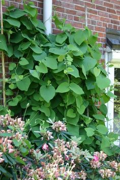 Amerikanische Pfeifenwinde / Pfeifenblume / Gespensterpflanze - Aristolochia macrophylla (durior)