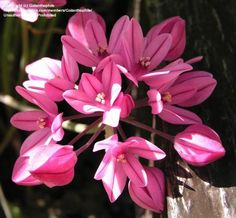 Pink Lily Leek - Allium Oreophilum Zwanenberg
