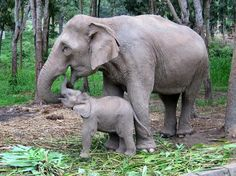 Patara Elephant Farm: Chang Mai, Thailand- I love Animals so much, this is a must for me. Thailand Elephants, Miles To Go, Big Animals, Elephant Love, Big Guys, Chiang Mai, Thailand Travel, Wonderful Places, Southeast Asia